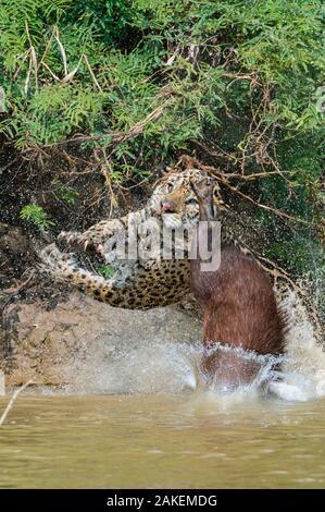 Jaguar (Panthera onca) male, hunting Capybara (Hydrochoerus hydrochaeris). The capybara while  jumping away has cut the nose of the Jaguar with its toemail. Cuiaba River, Pantanal Matogrossense National Park, Pantanal, Brazil. - Stock Photo