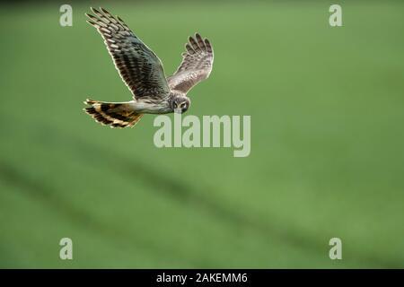 Hen harrier (Circus cyaneus) female in flight, Mayenne, France. March. - Stock Photo