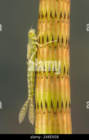 Narrow-winged damselfly nymph (Ischnura elegans), camouflaged on a stem of horsetail plant, June, Europe, controlled conditions - Stock Photo