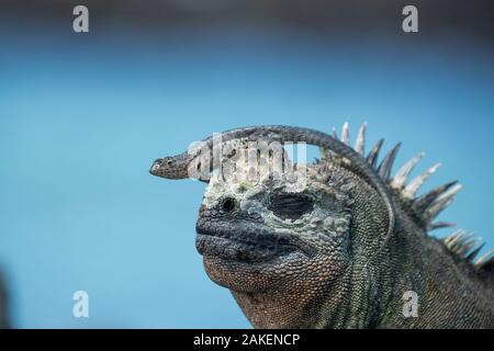 Galapagos lava lizard (Microlophus albemarlensis)  sitting on Marine iguana (Amblyrhynchus cristatus) Punta Espinosa, Fernandina Island, Galapgos. - Stock Photo