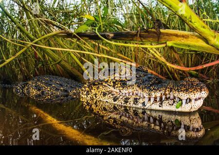 Cuban crocodile (Crocodylus rhombifer)  in a cenote in Cienaga de Zapata National Park. Cuba. Critically endangered species. - Stock Photo