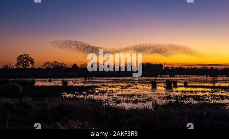 Starling murmuration at sunset over flooded fields at Whixall in North Shropshire, UK