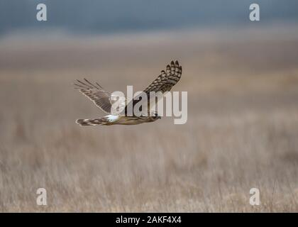 Harrier hen (Circus cyaneus), female hunting in winter, Hortobágy National Park, Hungary - Stock Photo