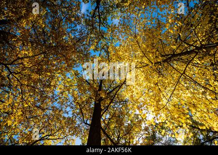 Autumn in the forest. Yellow autumn trees with autumn leaves on sunny blue sky - Stock Photo
