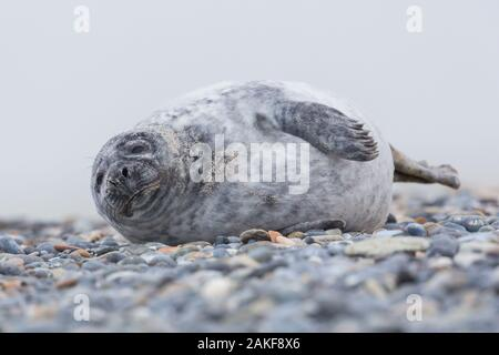 close-up one young gray seal (halichoerus grypus) lying on gravel beach - Stock Photo