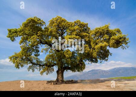 Quercus ithaburensis, the Mount Tabor oak, is a tree in the beech family. Photographed in the Galilee, Israel in March - Stock Photo