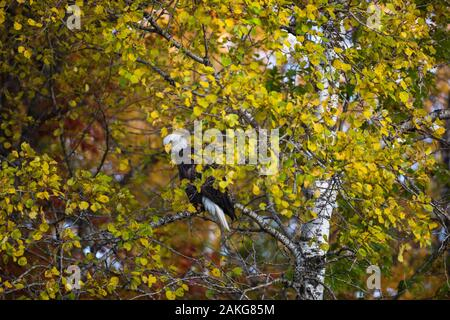 A bald eagle watching for an opportunity to feed on a dead whitetail next to the highway. - Stock Photo