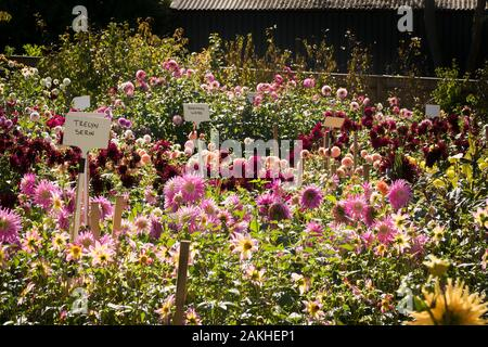 Colourful dahlias in a show field at a specialist nursery near Rombey Hampshire England UK in September - Stock Photo