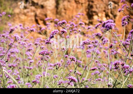 The wildflowers that fill our highways with color. Rio Grande do Sul, Brazil - Stock Photo