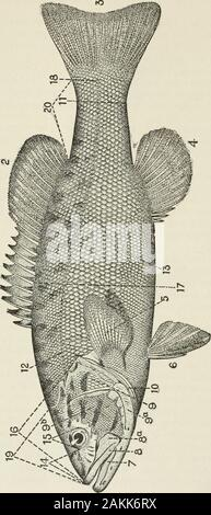American food and game fishes : a popular account of all the species found in America, north of the equator, with keys for ready identification, life histories and methods of capture . on belongs. All the keys in this work are arranged on the alternativebasis, which means that either the one or the other of twocontrasted statements will be true. The first statement to beconsidered in using any of the keys is lettered a, b, or c,etc., and the alternative is aa, bb, or cc, etc., the number-ing letter being always written double in the alternative. Withfish in hand read what is said under a ; if - Stock Photo