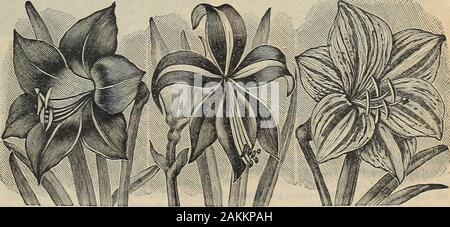 The Maule seed book : 1917 . For$2.SO we will send postpaid, oneeach of all the 13 varietiesmentioned on this page.. Amaryllis, Veitchii Seedlings. Amaryllis, Veitchii Seedlings Flowers have been increased to a foot in diam-eter, and the colors have been so improved andvaried as to be almost beyond belief. In themthis is true of white, pinli, rose, orange, scar-let, crimson and maroon. Some are flaked,mottled or striped, and some are of solid colors.50 cents each; 3 for $1.25, postpaid. Amaryllis, Vitatta It has Immense flowers and is a continuous bloomer. The color of the flower is a white gr - Stock Photo