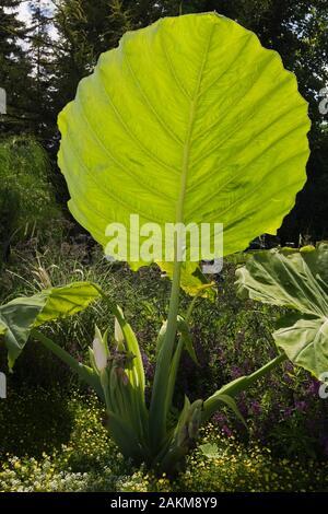 Close-up of Alocasia macrorrhizos - Giant Taro leaf in border in summer, Montreal Botanical Garden, Quebec, Canada. - Stock Photo