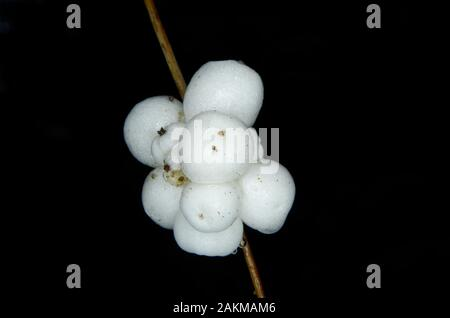 fruits of common snowberry Symphoricarpos albus - Stock Photo
