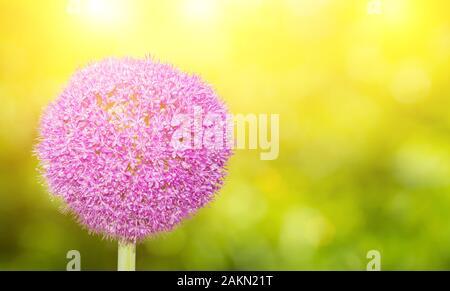 Giant Onion (Allium Giganteum) flower blooming in japan - Stock Photo