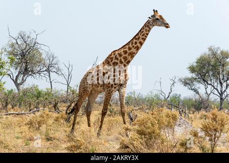 Lone adult male southern giraffe (Giraffa camelopardalis) walking across open area of scrub in Khwai Concession, Okavango Delta, Botswana, Southern Af - Stock Photo