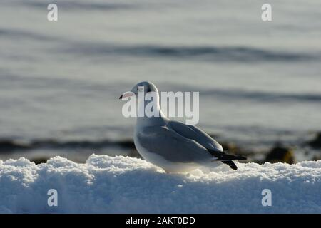 birds foraging in a snow covered landscape - Stock Photo