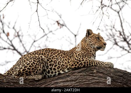 Female leopard (Panthera pardus) sitting on branch of tree in Khwai Concession, Okavango Delta, Botswana, Southern Africa - Stock Photo