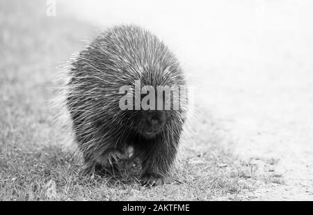 Porcupine walking along the trail in summer in Canada - Stock Photo