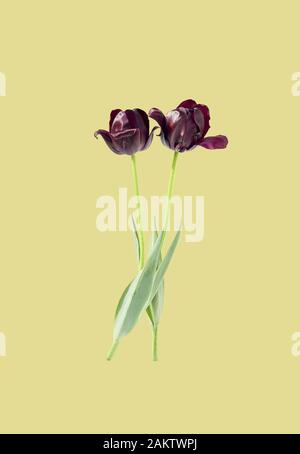 Spring floral holiday design with purple tulips isolated on aqua menthe background, copy space for your text, closeup, festive mothers or womens day c - Stock Photo
