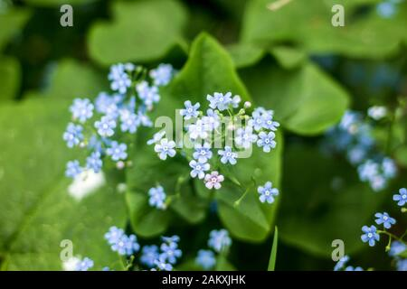 Early spring.Little blue flowers Brunnera macrophylla(Siberian bugloss) in a garden.Macro photo.Background for a site about flowers,plants and travel. - Stock Photo