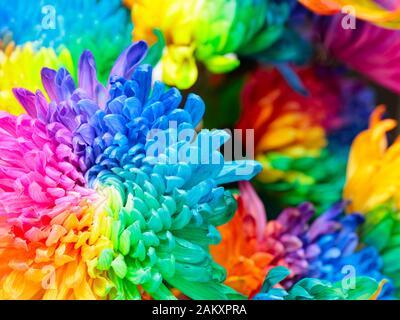 Background of colorful chrysanthemum flowers, blue, pink, yellow, orange, close up - Stock Photo