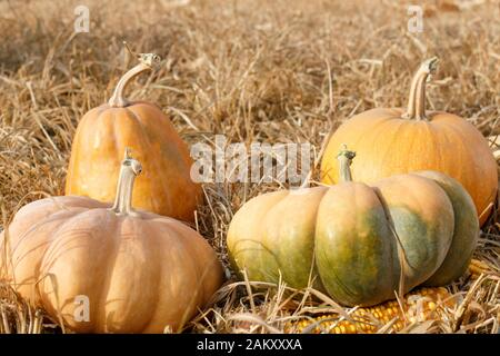 Group of different pumpkins laying on straw - Stock Photo