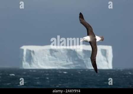 Black-browed Albatross in front of an iceberg, South Georgia, Antarctica - Stock Photo