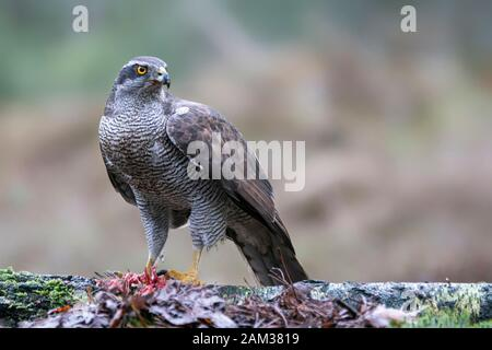 Adult of Northern Goshawk (Accipiter gentilis) on a branch with a prey in the forest of Noord Brabant in the Netherlands. - Stock Photo