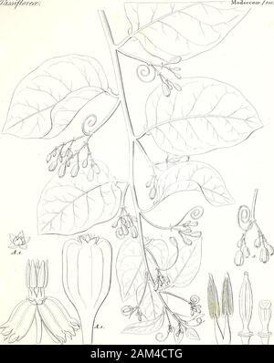 Iconographia generum plantarum . f^OSjJ 2T*:£ Y/AV ^J&d&i/forete/. IMotlecceee .{fioij. ^un/tecau suidtivi/ij. <//t.- 6 sr. i. i. Modecceee. fsioaJ - Stock Photo