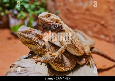 two bearded dragons sitting on top on each other in the terrarium - Stock Photo