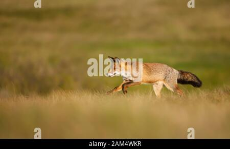 Close up of a red fox (Vulpes vulpes) running in the field of grass. - Stock Photo