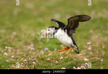 Atlantic puffin landing with the open wings, Noss island, Shetland Islands.