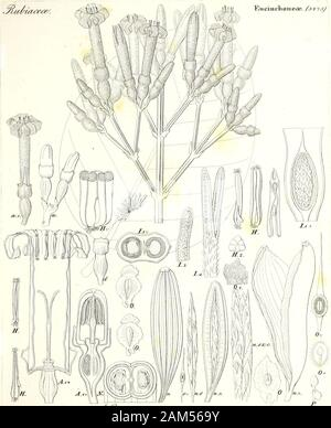 Iconographia generum plantarum . .fuZT^^ «£/. ^ytewutffa^TfoiMidJ a^itui^z^u/e^. S. ^e^Aa^C . faj i EiidiiicTi(mea&. (avyjj. te^W^ ov/bTtzceciu w. .(S.&mt. &3! j^hiadete. TyLopli oreas. fqjojt-J - Stock Photo