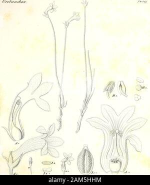 Iconographia generum plantarum . (Jrzmtzy?^/it. j£ ^vs&^/^/- ^. 3birfiJa#iZik^ s. /sWrAasrt Jc. /y 2,/ - Stock Photo