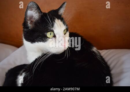 Closeup of a black and white tuxedo cat staring off into the distance while lying mischievously on the pillow she claimed. - Stock Photo