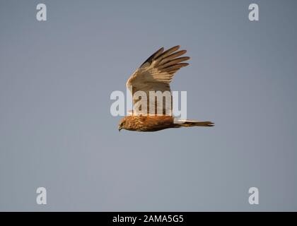 Harrier marsh (Circus aeruginosus), female in flight, 6Hortobágy National Park, Hungary - Stock Photo