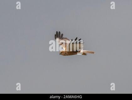 Harrier marsh (Circus aeruginosus), male in flight, Hortobágy National Park, Hungary - Stock Photo