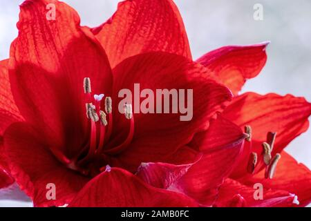 Detailed close up of red amaryllis (hippeastrum)  flowers showing details like pistils and pollen - Stock Photo