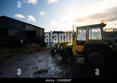 An old digger, tractor located on a dairy farm, Holstein Friesian Cows eating hay in the background - Stock Photo