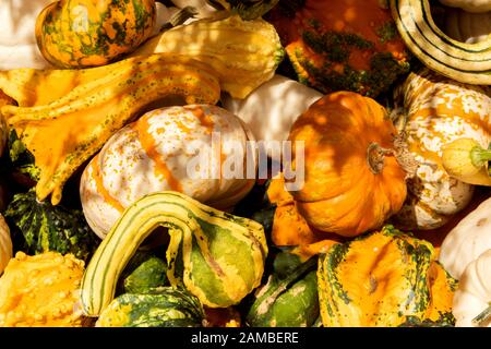 Fall is here, and the squash is abundant in Parkdale, Oregon, in the shadow of Mount Hood. - Stock Photo