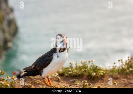 Atlantic puffin (common puffin, Fratercula arctica) with beak full of sand eels on Skomer, a nature reserve island, west Wales coast in Pembrokeshire - Stock Photo