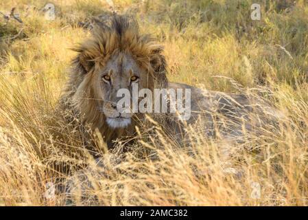 Male Lion, Panthera leo, in long grass, Macatoo, Okavango Delta, Botswana