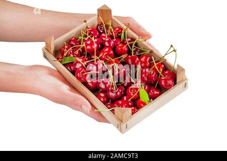 freshly picked cherries with petioles and leaves in a small crate held by a woman's hands - Stock Photo