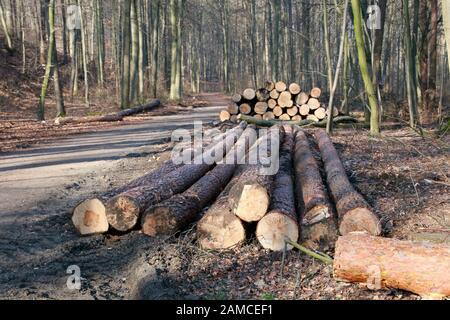 Durchforstung im Naturpark Kottenforst-Ville -  Stapel mit Kiefern-Stämmen, Brühl, Nordrhein-Westfalen, Deutschland - Stock Photo