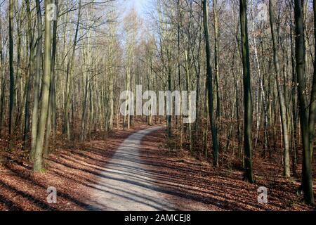 Buchen-Wald im Naturpark Kottenforst-Ville, Brühl, Nordrhein-Westfalen, Deutschland - Stock Photo