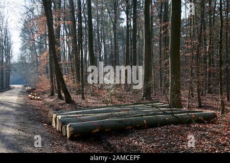 Durchforstung im Naturpark Kottenforst-Ville -  Stapel mit Buchen-Stämmen, Brühl, Nordrhein-Westfalen, Deutschland - Stock Photo