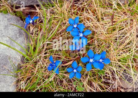 Spring gentian, The Burren, County Clare, Ireland - Stock Photo