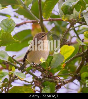 The common chiffchaff (Phylloscopus collybita) looking for insects on the lemon tree leaves in the garden, Israel - Stock Photo