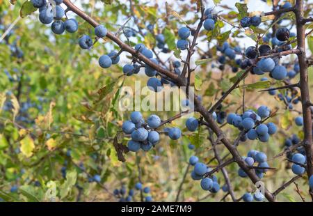 Wild plant prunus spinosa also called blackthorn closeup with blue round fruits  at fall season - Stock Photo