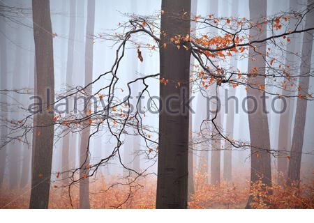 Forest, trees, bare trunks, fog, mist in the background, orange leaves on the ground and branches, no snow in winter, autumn weather - Stock Photo